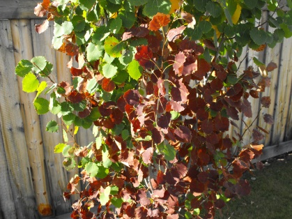 bronze-leaf