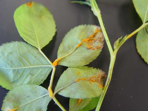 leaf-rust-on-rose-leaves